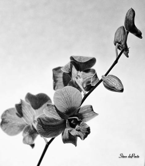 purpleorchid_blkandwhite