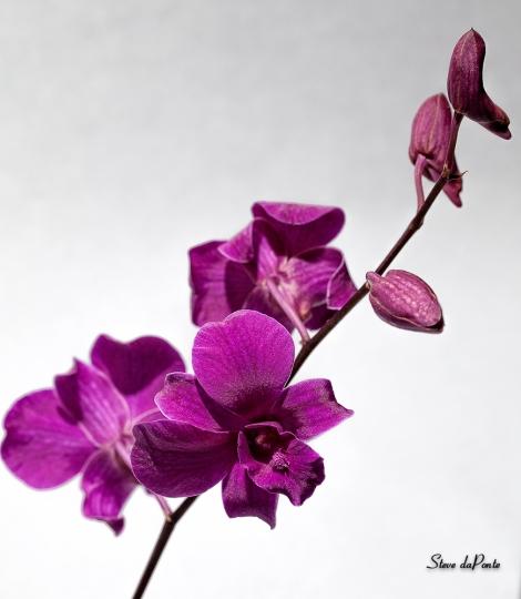 purpleorchid_Color