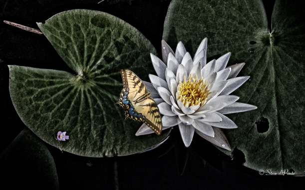 ButterflyWaterLilly