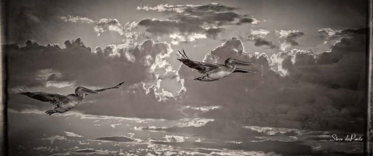 pelicans_black_white