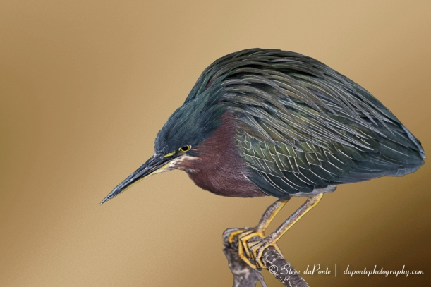 Green Heron Photo Composite Created with On  One Perfect Suite 8