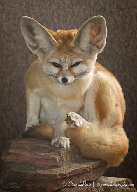 Fennec Fox Portrait