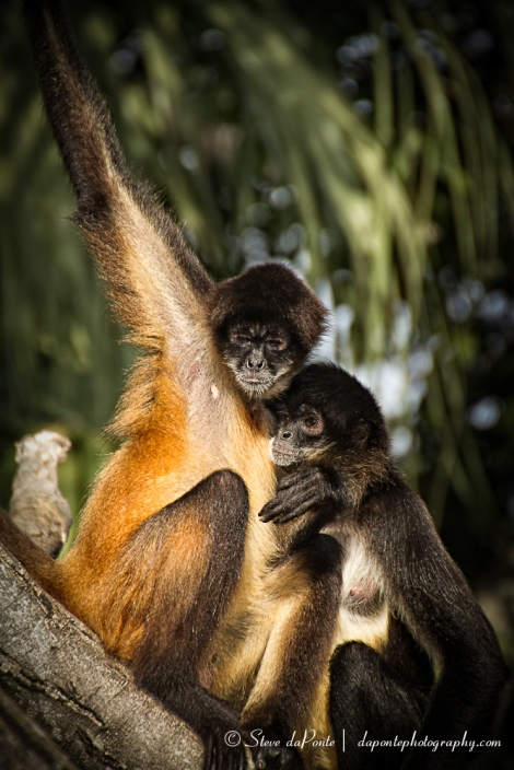 steve_daponte_pbzoo_monkey_hug_img3308