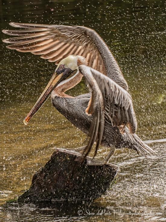 steve_daponte_pbzoo_pelican_img3579