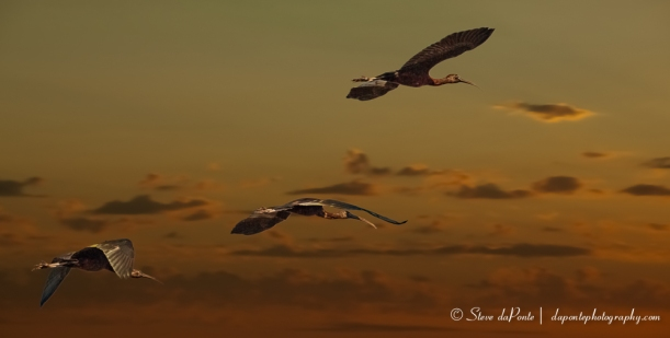 steve_daponte_fly_away_to_roost_img4093