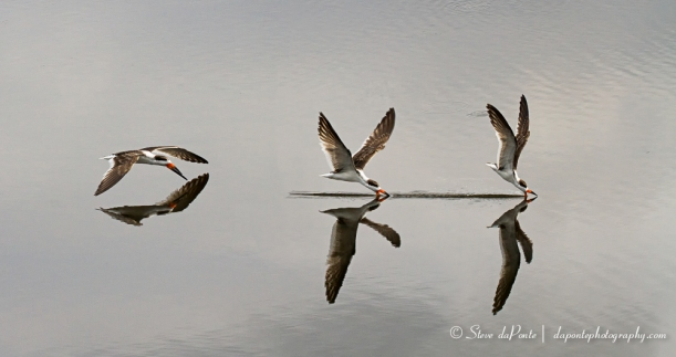 Photo-composite of Black Skimmer in action