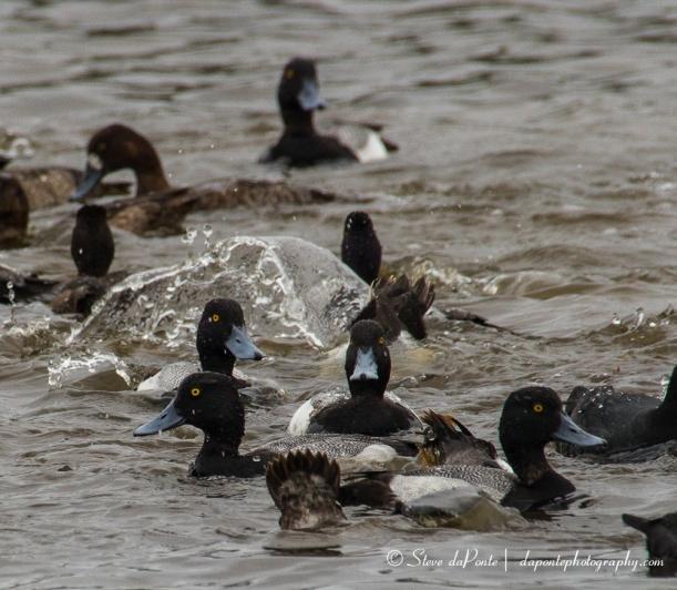 steve_daponte_duckssplashing_img5616
