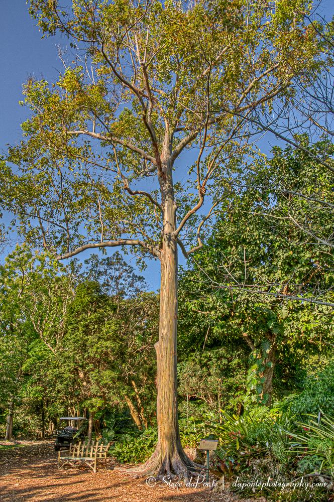 Rainbow Eucalyptus (Eucalyptus deglupta)   Photography by