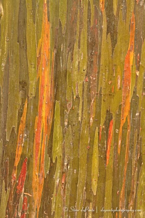 Rainbow_Eucalyptusbark_closeup_img6742
