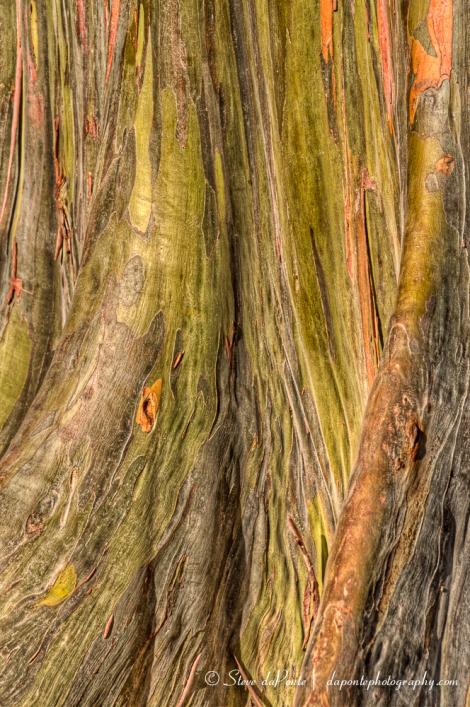 Rainbow_Eucalyptusbase_closeup_img6751