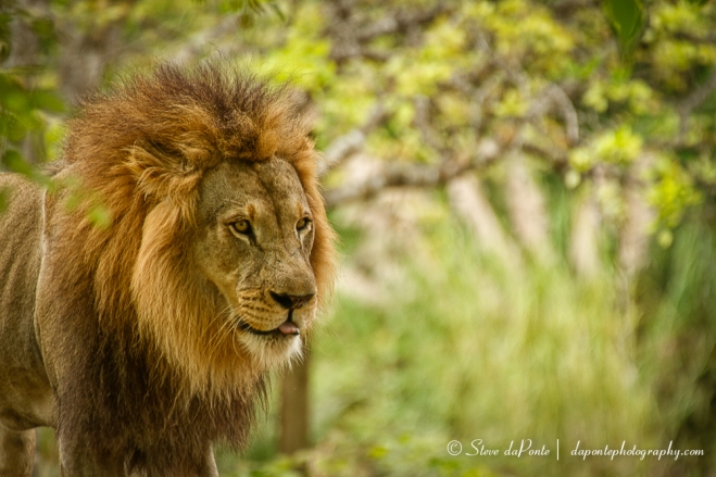 stevedaponte_your_lion2_img7862