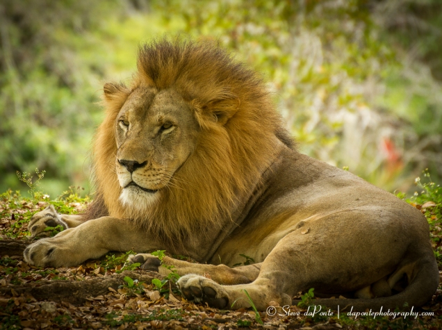 stevedaponte_your_lion_img7862