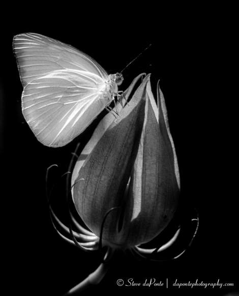 stevedaponte_butterflyonbud