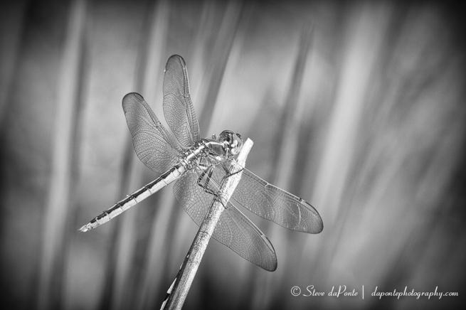 stevedaponte_dragonfly_mmc_img0376