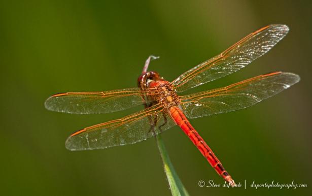 stevedaponte_red_dragon_wings_img0916