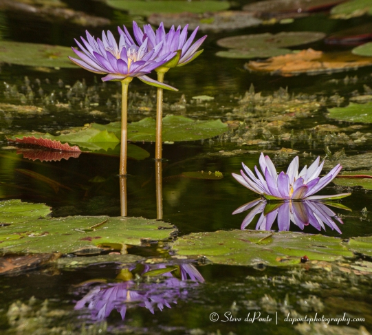 stevedaponte_waterflowers_img0757