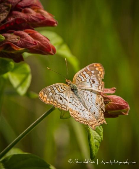 stevedaponte_whitepeacock_butterfly_img0714