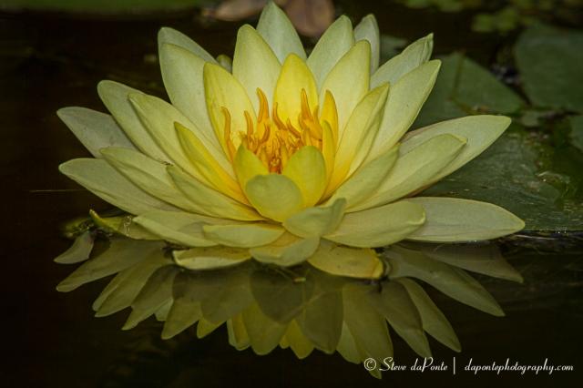 stevedaponte_yellow_water_flower_img1042