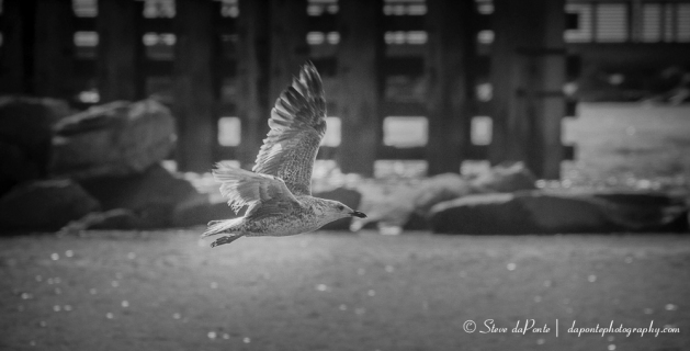 stevedaponte_gull_in_flight_img3204