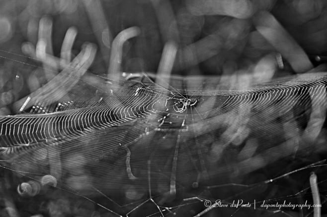 steve_daponte_spider_web