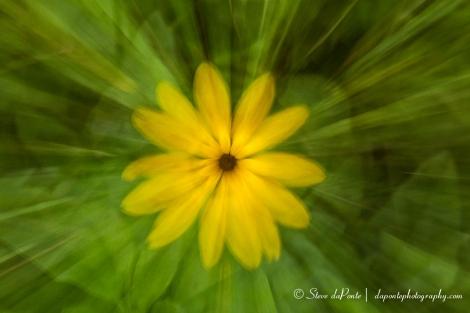 steve_daponte_yellowflower_zoomout