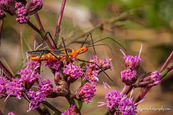 steve_daponte_orange_bug