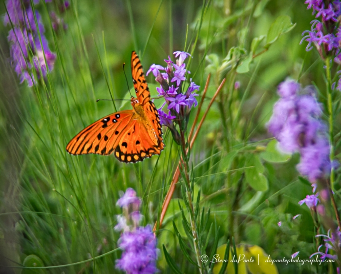 steve_daponte_orange_butterfly