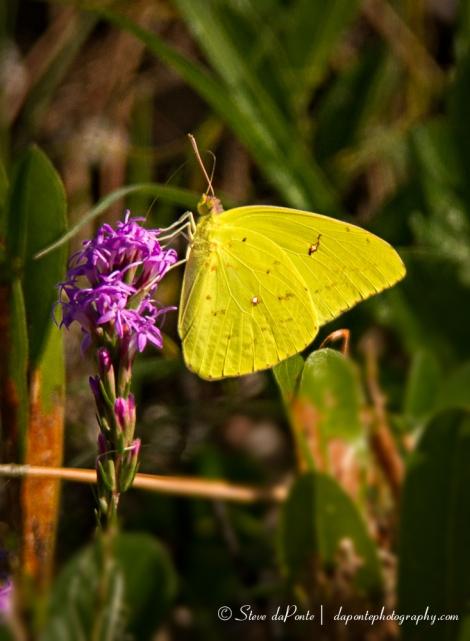 steve_daponte_yellow_butterfly