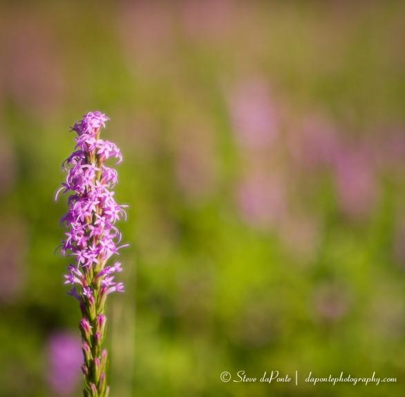 steve_daponte_flower_img9474