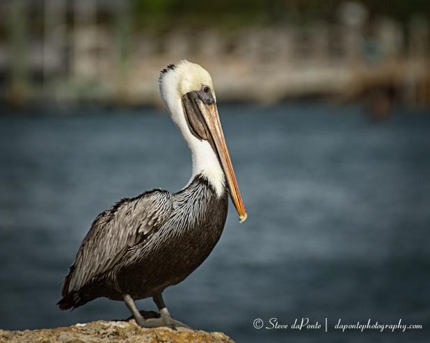 steve_daponte_pelican_img2174