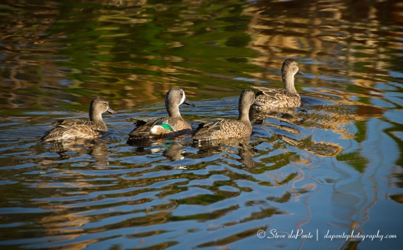 stevedaponte_ducks_img3150