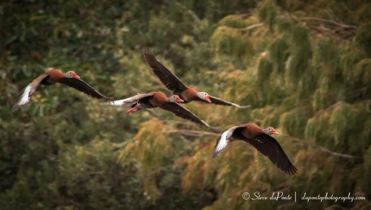 stevedaponte_ducks_in_flight_img3744