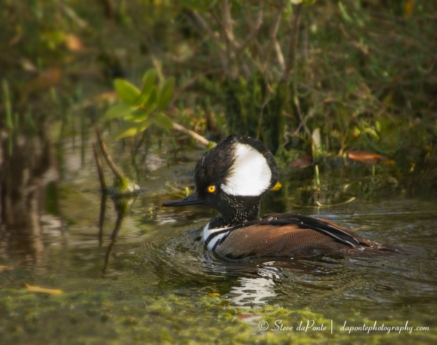 stevedaponte_hooded_merganser_img4406