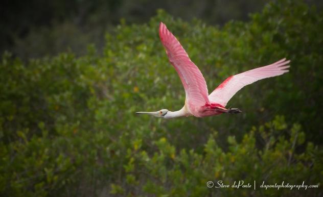 stevedaponte_merritt_island_flying_spoonbill_img4386