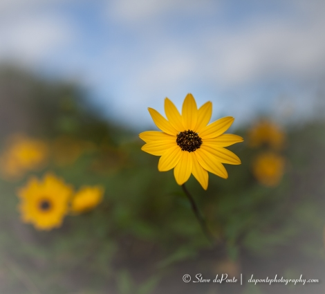 steve_daponte_yellow_flower2_img4911