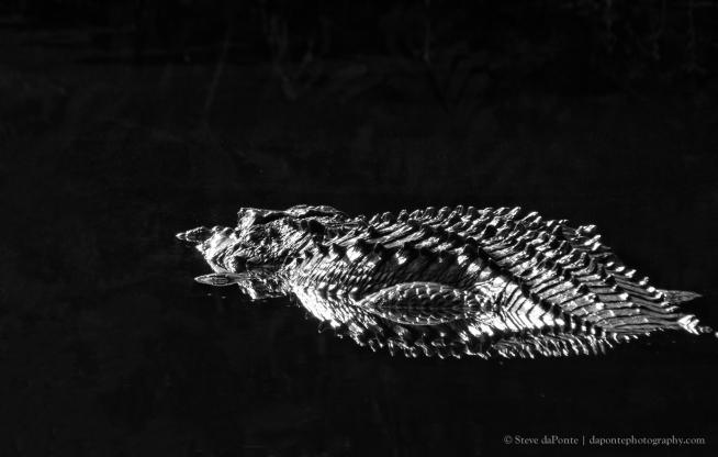 steve_daponte_monochrome_aligator_img1113