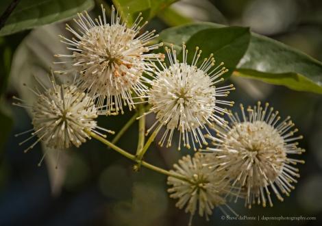 steve_daponte_Buttonbushflowers_img0853