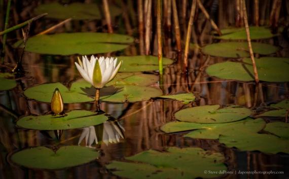 steve_daponte_lillypadsandflower_img0879