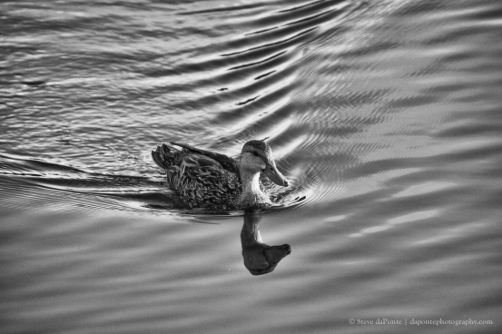 steve_daponte_duck_img1042