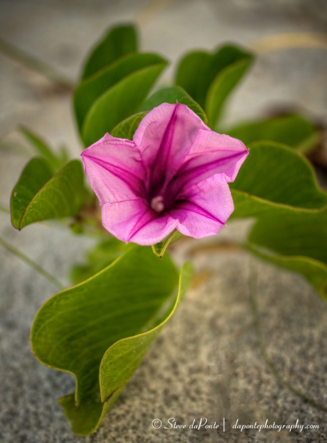 steve_daponte_morningglory_img4002