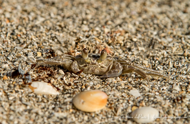 stevedaponte_coralcovecrab_img4973