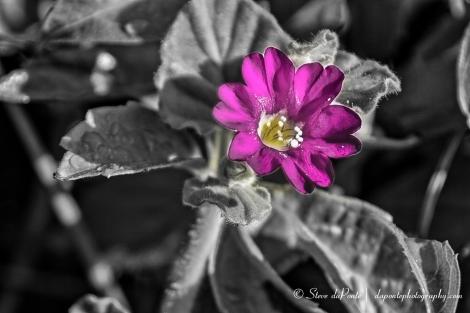 stevedaponte_coralcovepurpleflower_img5046