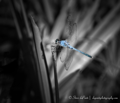 stevedaponte_blue_dragonfly_img2204