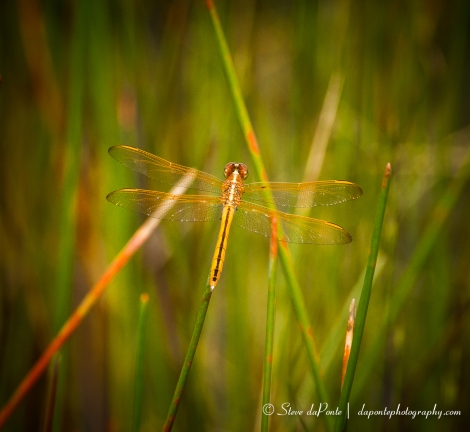 stevedaponte_dragonfly_img5893