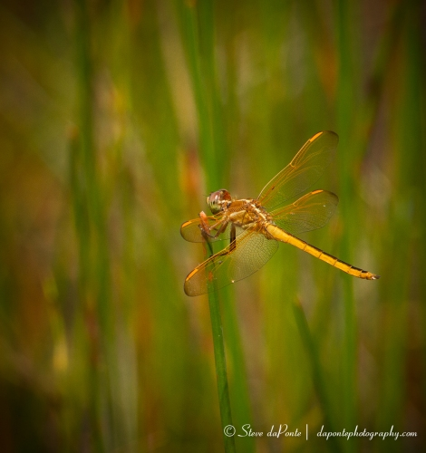 stevedaponte_dragonfly_img5895