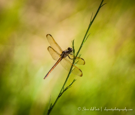 stevedaponte_gold_dragonfly_img2178