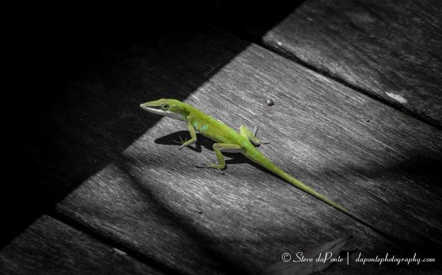 stevedaponte_green_anole_lizard_img5906