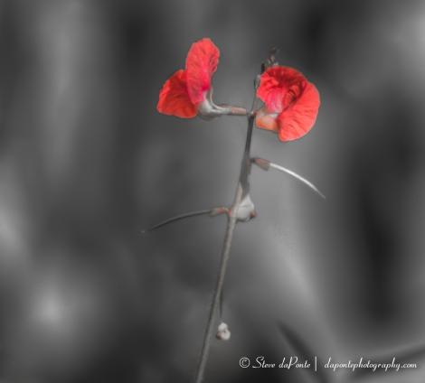 stevedaponte_redflower_img2189