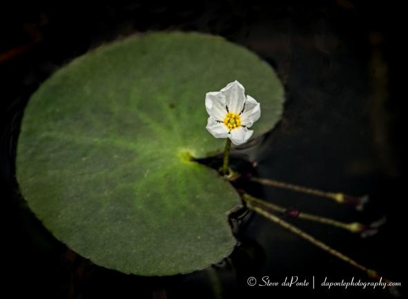 stevedaponte_small_waterflower_img5879