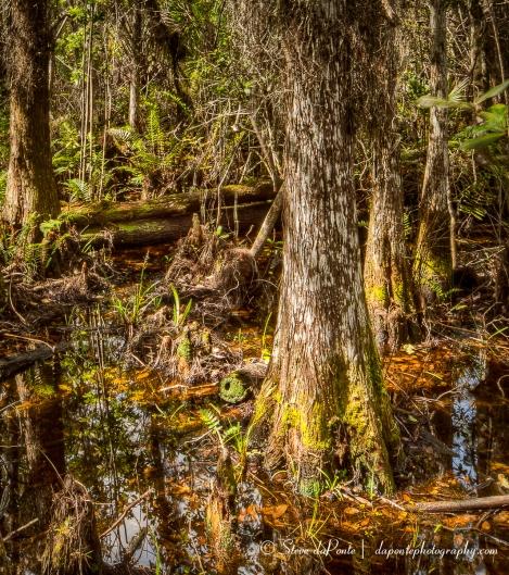 stevedaponte_cypressswamp_img2683